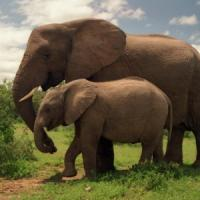 Bracconaggio, così in cinque anni gli elefanti rischiano di scomparire