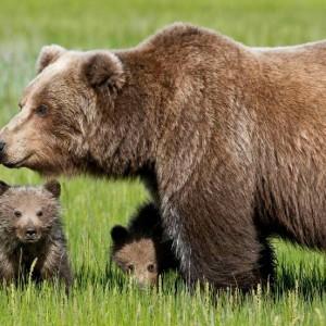 """Lo scandalo dell'orsa reclusa da tre anni: """"È figlia di Daniza liberatela subito"""""""