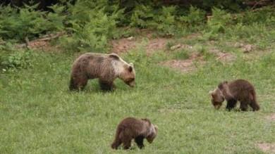 """Lo scandalo dell'orsa reclusa da tre anni: """"È figlia di Daniza liberatela subito""""  di GIUSEPPE CAPORALE"""