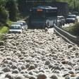 Statale in tilt  passano 800 pecore
