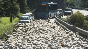 Statale in tilt: passano 800 pecore