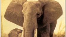 """""""Così in 5 anni gli elefanti rischiano di scomparire"""""""
