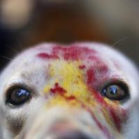 Nepal, ghirlande e colori al festival dei cani