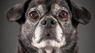 Più adorabili dei cuccioli i ritratti dei cani anziani