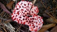 Gelati alla fragola, aragoste e  cuori di strega: i funghi alieni