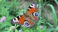 Farfalle, l'operazione Pollinator è un successo