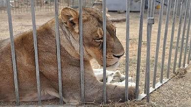 Sardegna, animali maltrattati nei circhi portati in centro recupero toscano -   foto