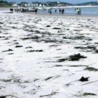 Germania, l'influenza aviaria uccide centinaia di foche