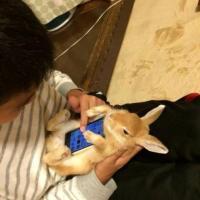 """Twitter, la follia giapponese: il coniglio """"poggia-smartphone"""""""