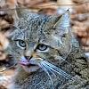 Esemplare di gatto selvatico ripreso dalla fototrappola