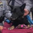 L'ultimo bacio a Dogi tributo al cane poliziotto