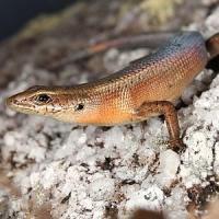 Australia, trovate due nuove specie di lucertole nel cuore della foresta pluviale