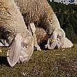 Dolomiti-Adriatico a passo di pecora