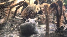 Video: la tarantola golia  cattura e mangia il topolino
