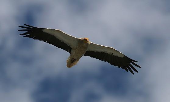 """Un farmaco minaccia gli avvoltoi. Lipu: """"Vietatene l'uso veterinario"""""""