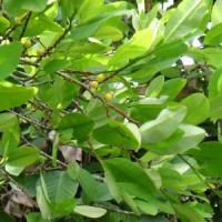 La pianta di coca resisterà ai cambiamenti climatici