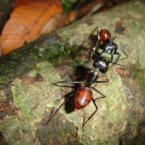 Ecco come le formiche vanno in guerra - Come debellare le formiche in casa ...