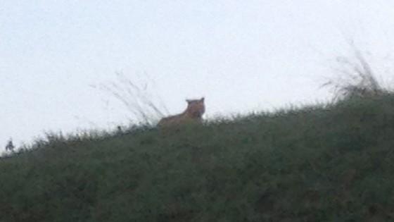 Ultime Notizie: Parigi, grande felino in fuga. Allarme nella zona di Eurodisney