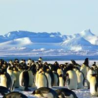 Antartide, il caso dei pinguini violentati dai leoni marini