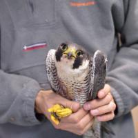 Crimini di natura, il Wwf e il falco a cui hanno sparato due volte
