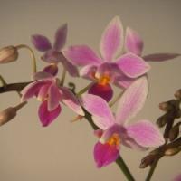 Mappato il Dna dell'orchidea, trovato il segreto dei loro disegni