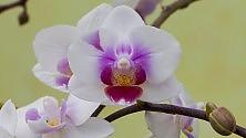 Ultime Notizie: Mappato il Dna dell'orchidea, trovato il segreto dei loro disegni