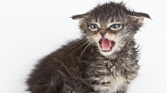 Perché Il Gatto Non Sarà Mai Un Animale Domestico Repubblicait