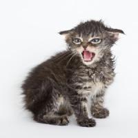 Perché il gatto non sarà mai un animale domestico