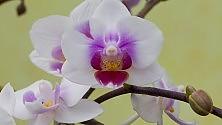 L'arte delle orchidee nella loro mappa genetica