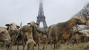 La protesta degli allevatori Pecore sotto la Torre Eiffel    Video