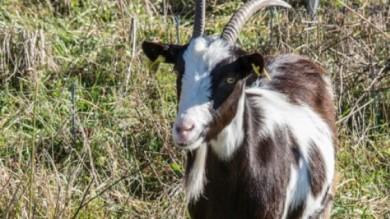 Agitu, dall'Etiopia al Trentino per salvare la capra Mochena /   Foto     di SARA FICOCELLI