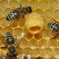 """Le api al rogo per salvare il miele. Scoppia la rivolta """"Fermatevi"""""""