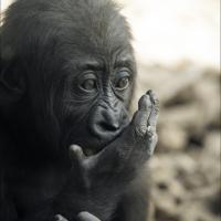 Schizzinosa e scommettitrice: quando la scimmia è come l'essere umano