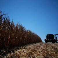Cereali sani: lo smartphone aiuta i contadini