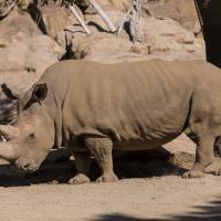 California, muore Angalifu il raro rinoceronte bianco
