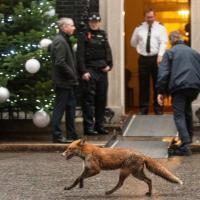 Londra, una volpe davanti a Downing Street