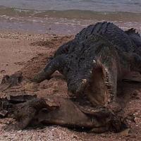 Australia, coccodrillo affamato: morso al carapace della tartaruga