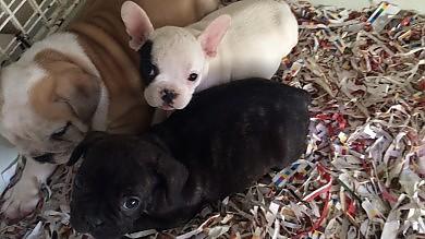 Bologna, traffico di animali -   foto   la Polstrada salva 51 cuccioli