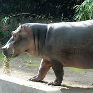 Macerata: ippopotamo di un circo, liberato da animalisti, muore travolto da un'auto