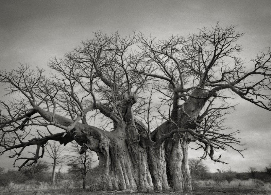 ''I ritratti del tempo'', gli alberi più antichi del mondo - Repubblica.it