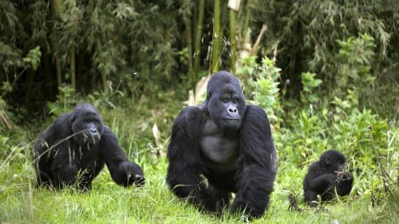 """Tra i ranger del Congo: """"Così salviamo gli ultimi gorilla"""""""