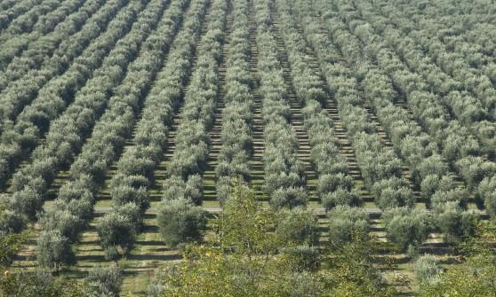 Olio d'oliva: con le fatture false si tarocca il Made in Italy