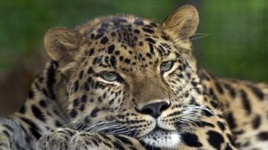 Trovati resti del leopardo del Po È un felino vissuto 100mila anni fa