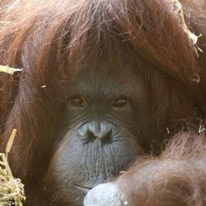 """Tilda, l'orangotango che """"parla"""" per attirare l'attenzione"""