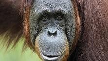 """L'orangotango che """"parla"""" per attirare l'attenzione"""