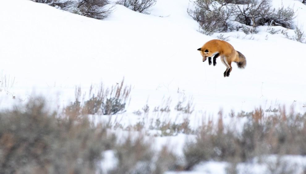"""A caccia d'inverno: la volpe si """"tuffa"""" nella neve"""