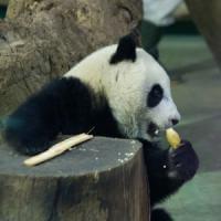 "Animali, studio shock: ""Tigri, panda e rinoceronti saranno estinti nel 2050"""