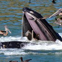 La balenottera e il pellicano: l'attimo fuggente della salvezza