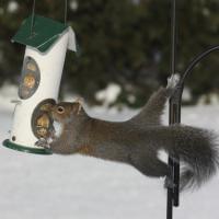 Usa, il pasto scomodo: lo scoiattolo mangia a mezz'aria