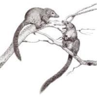 """L'antenato comune di uomini e scimmie? Un """"arrampicatore"""""""